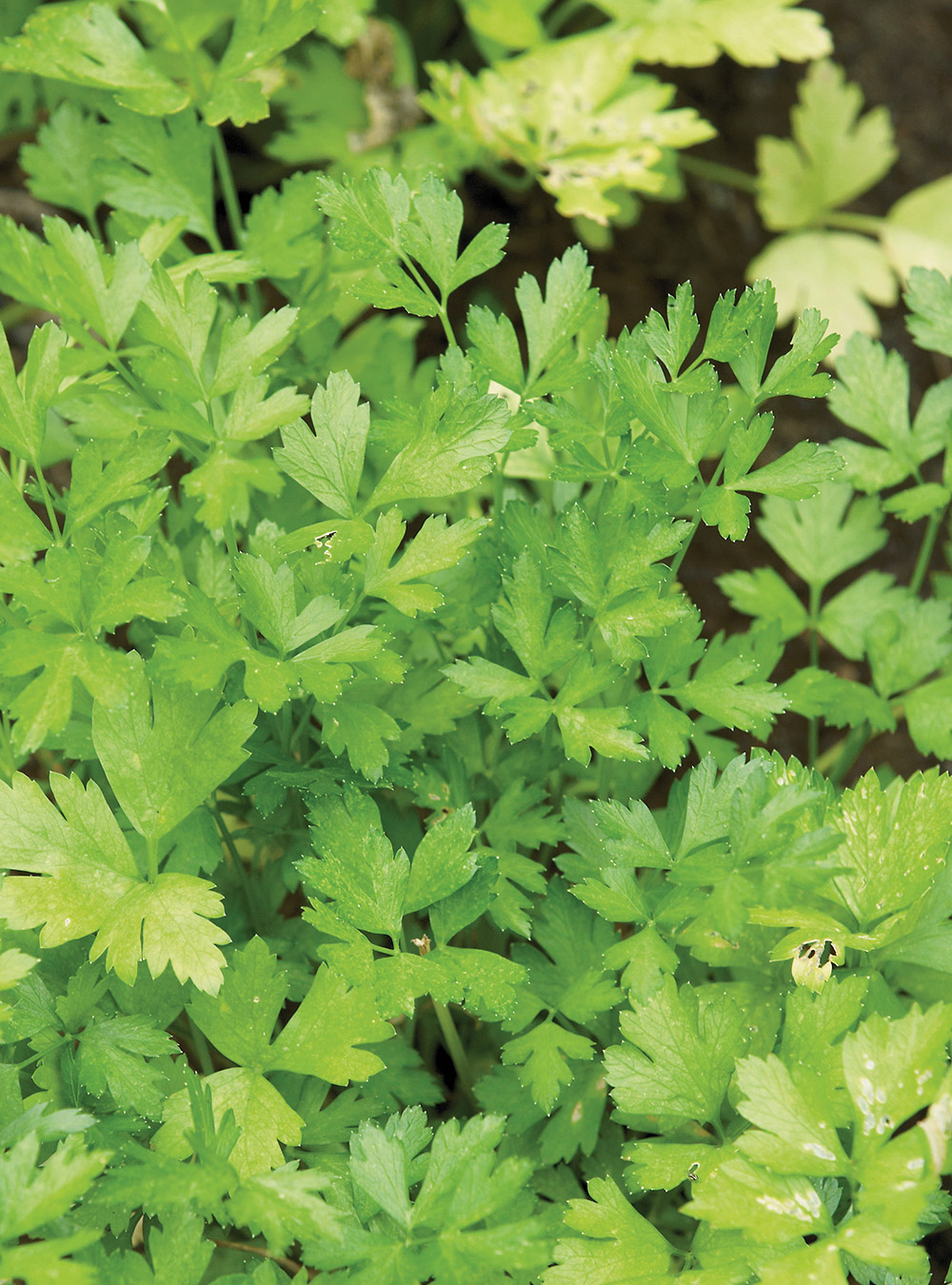 Taboulé (salade de persil) | ricardo